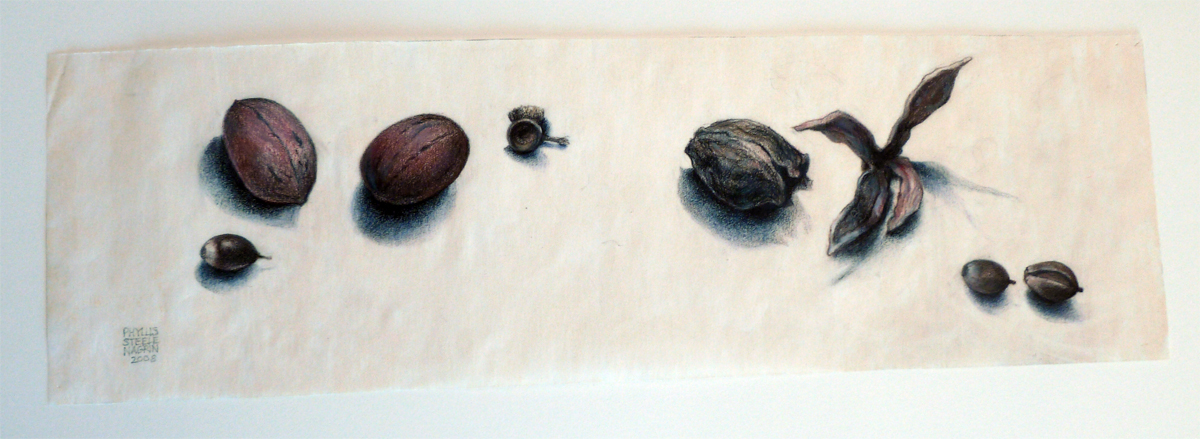 Nuts by Phyllis Steele 16 x 5 Pencil on paper